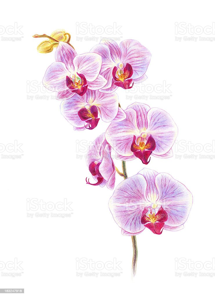 Orchids royalty-free stock vector art
