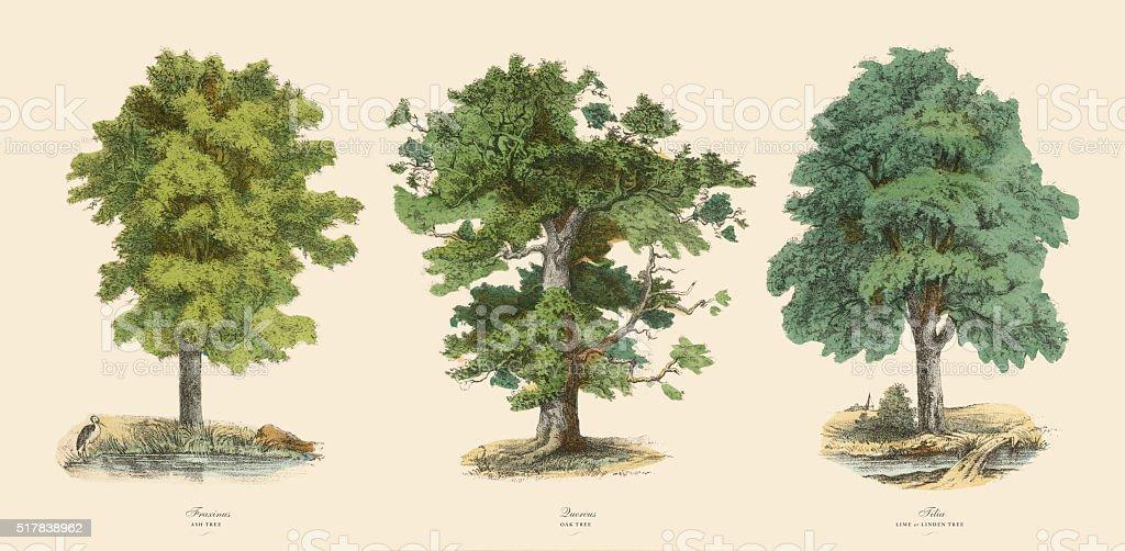 Ornamental Trees in the Forest, Victorian Botanical Illustration vector art illustration