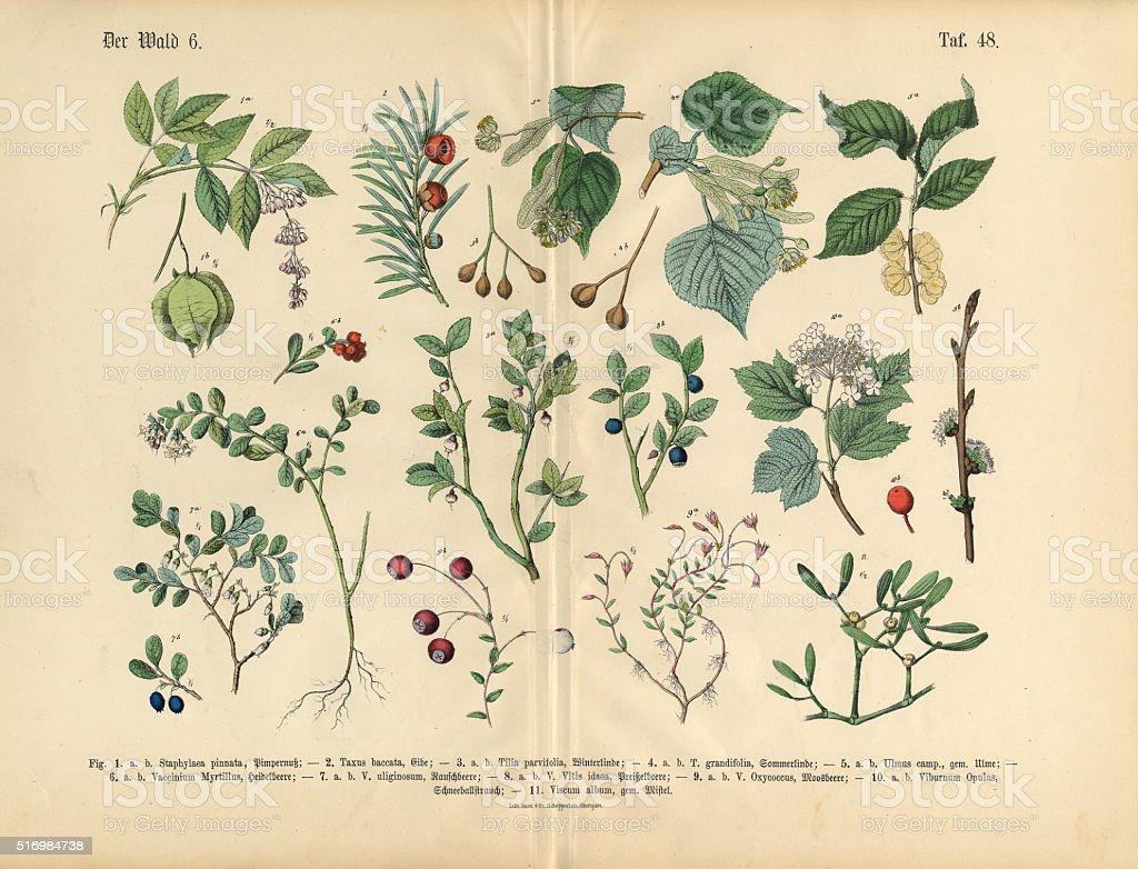 Ornamental Trees, Shrubs and Plants, Victorian Botanical Illustration vector art illustration