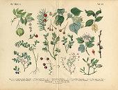 Ornamental Trees, Shrubs and Plants, Victorian Botanical Illustration
