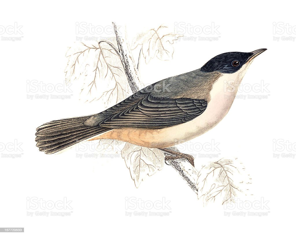 Orphean Warbler - Hand Coloured Engraving royalty-free stock vector art