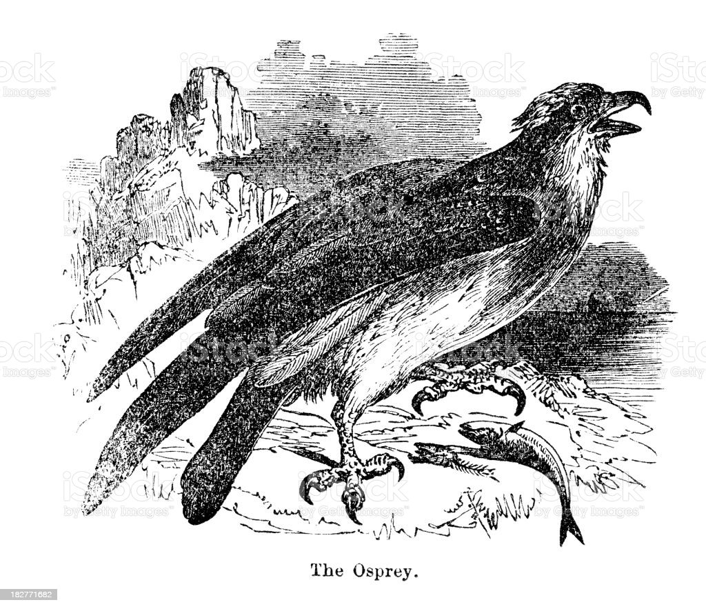 osprey royalty-free stock vector art