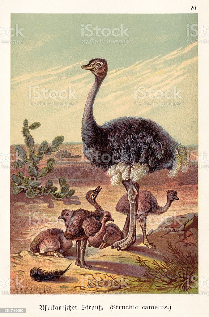 Ostrich with its babies illustration 1888 vector art illustration