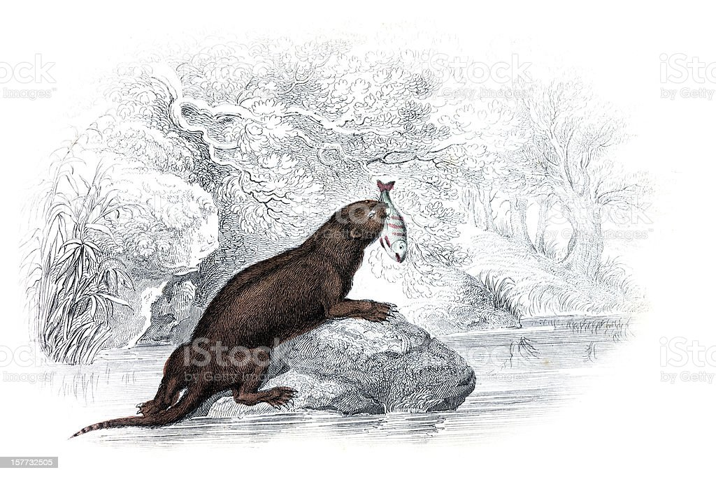 Otter - Hand Coloured Engraving vector art illustration