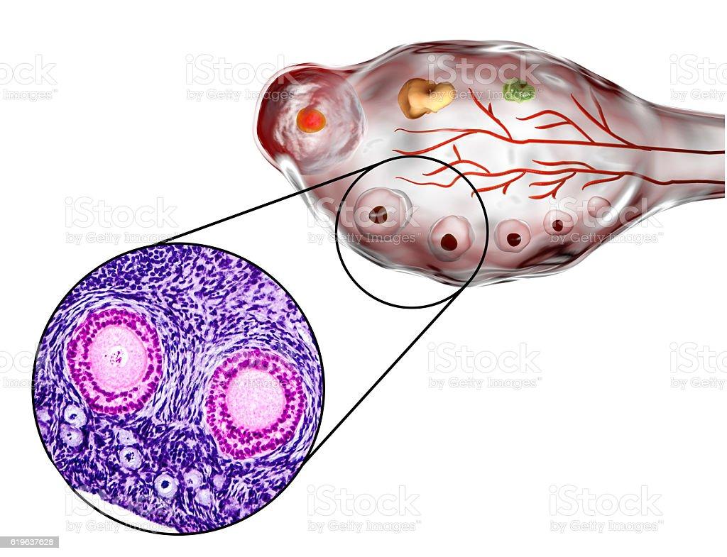 Ovarian follicles, micrograph and illustration vector art illustration