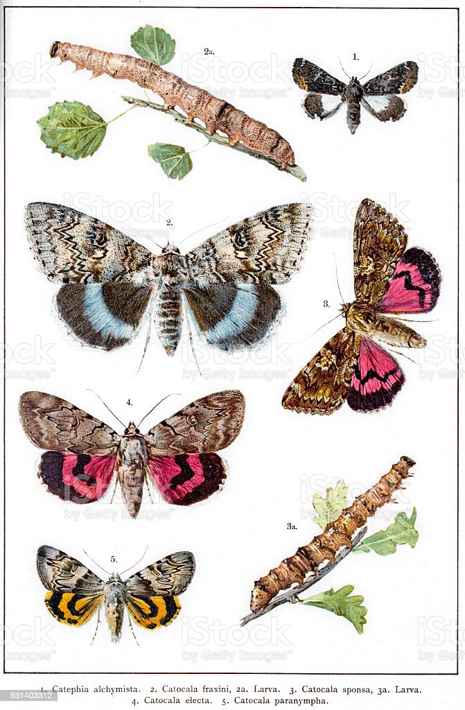 Owlet moths, underwings, macromoths of Europe vector art illustration