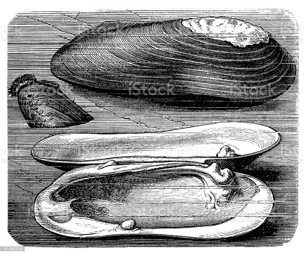 Painter's mussel (Unio pictorum) vector art illustration