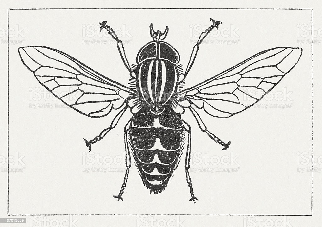 Pale giant horse-fly (Tabanus bovinus), wood engraving, published in 1865 royalty-free stock vector art