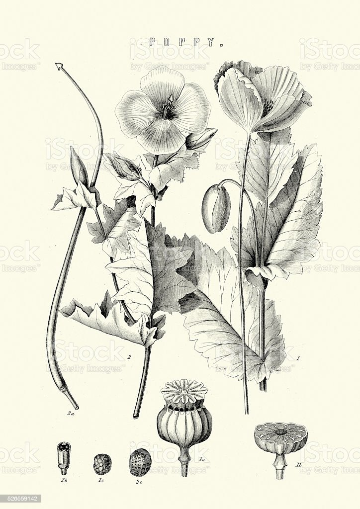 Papaver somniferum, the opium poppy vector art illustration