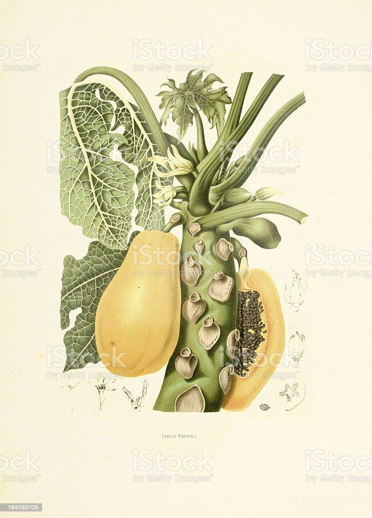 Papaya | Antique Plant Illustrations vector art illustration