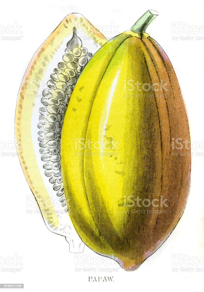 Papaya fruit engraving 1857 vector art illustration