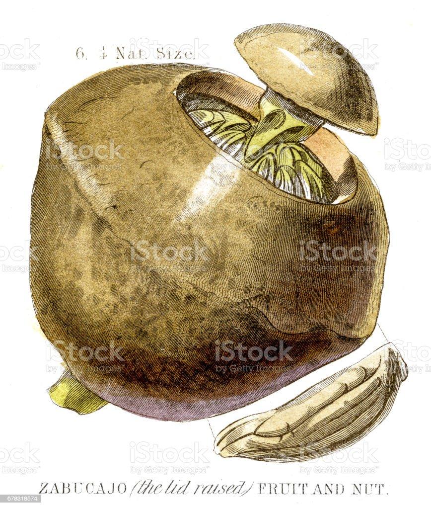Paradise nut fruit engraving 1857 vector art illustration