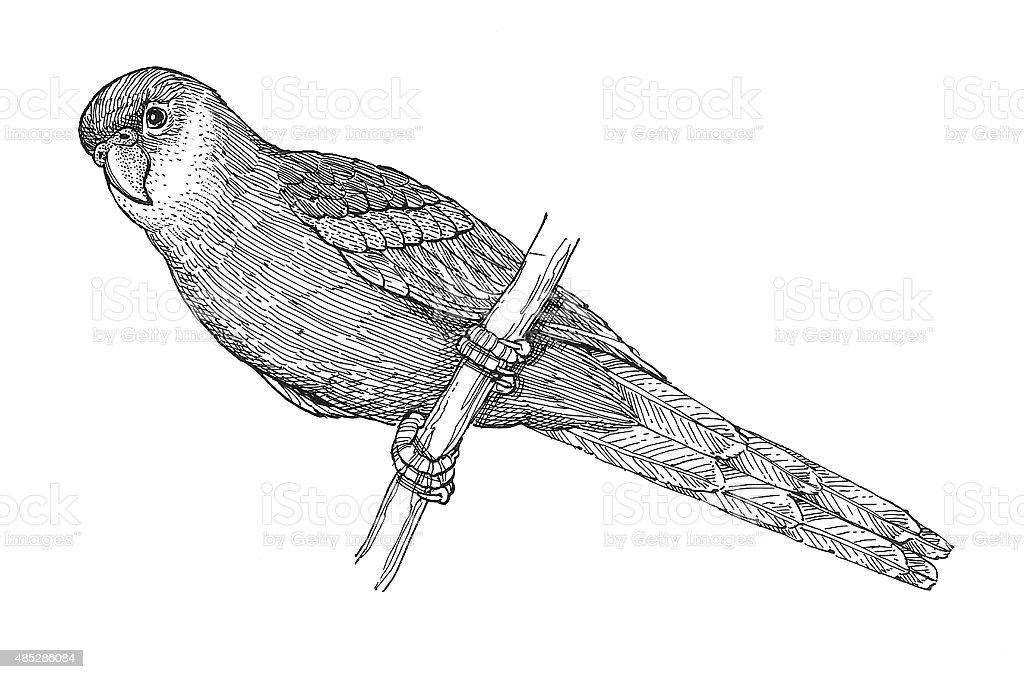 Sittich 2 Lizenzfreies vektor illustration