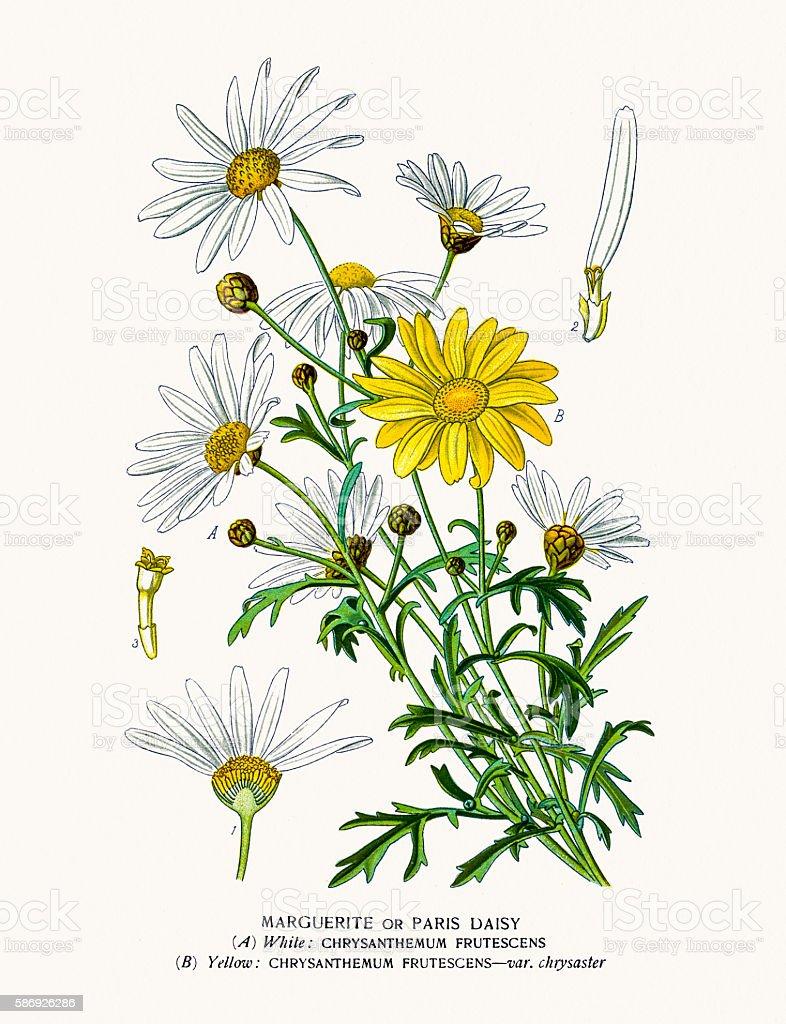 Paris daisy marguerite vector art illustration