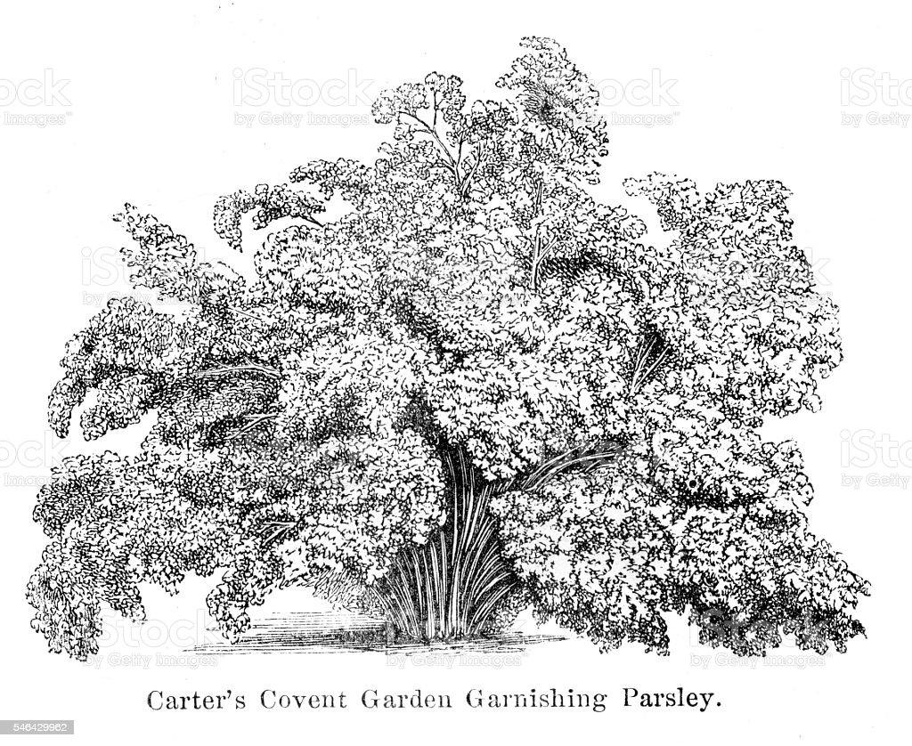 Parsley engraving 1874 vector art illustration
