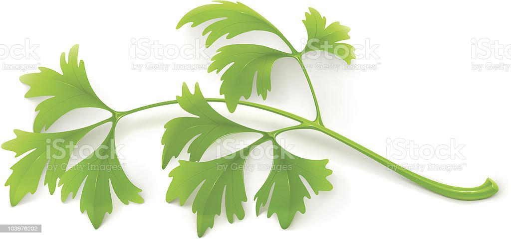 Parsley vector art illustration