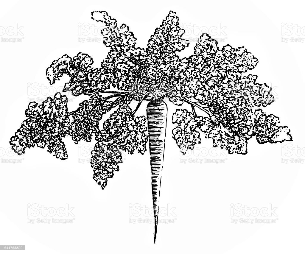 Parsley root vector art illustration