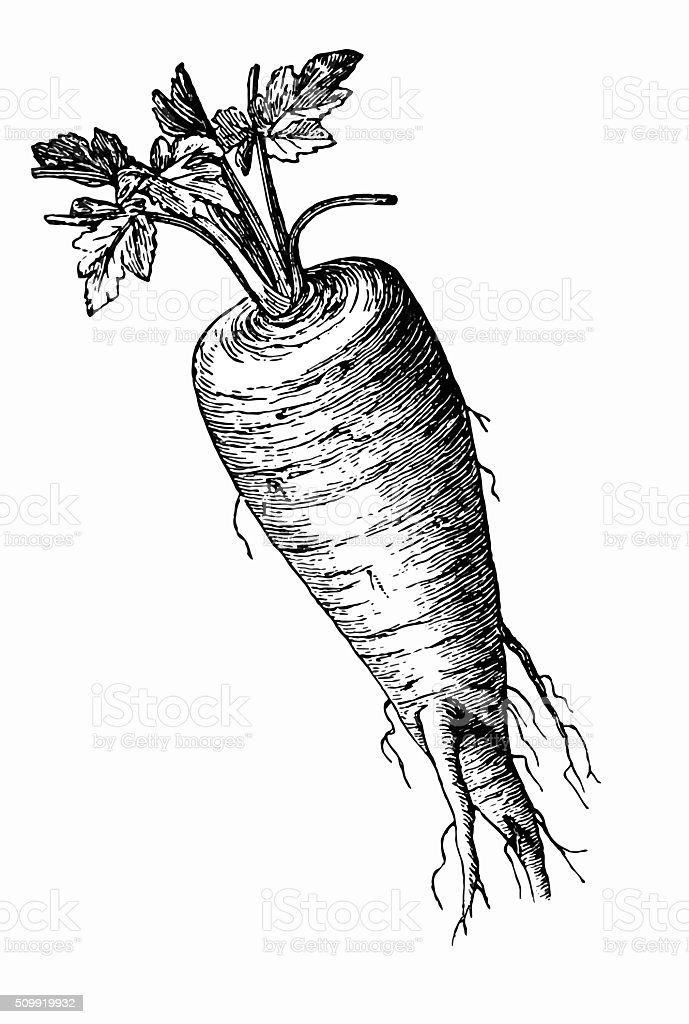Parsnip (Pastinaca sativa) vector art illustration