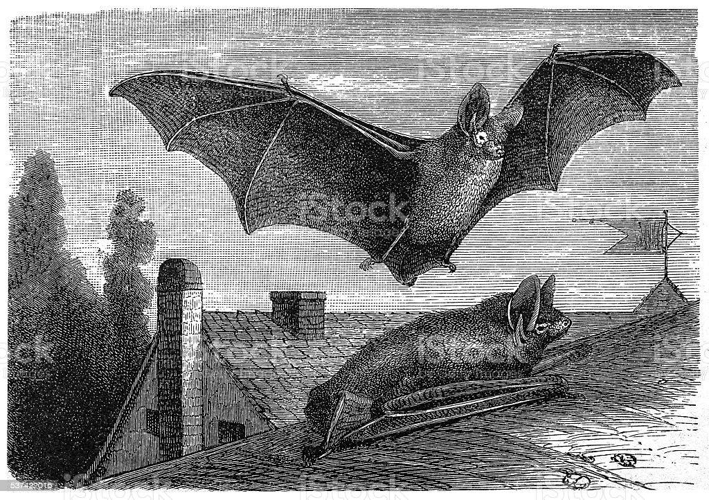 Parti-coloured bat or rearmouse (Vespertilio murinus) vector art illustration
