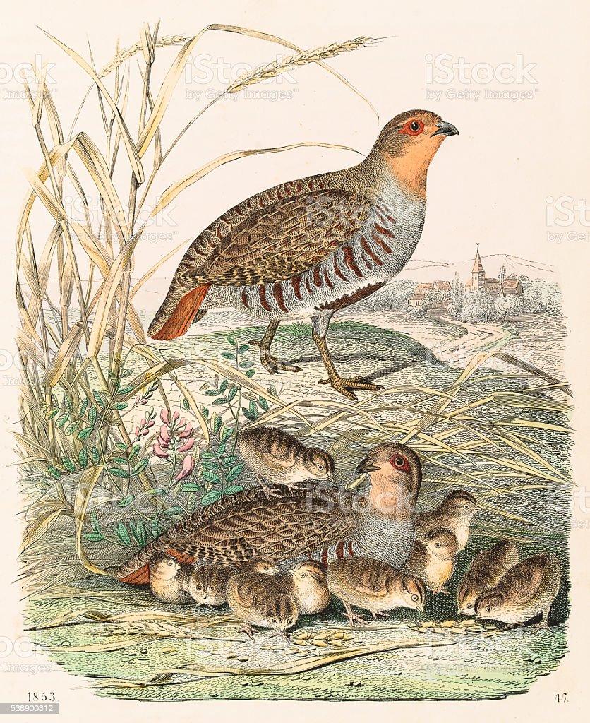 Partridges engraving 1853 vector art illustration