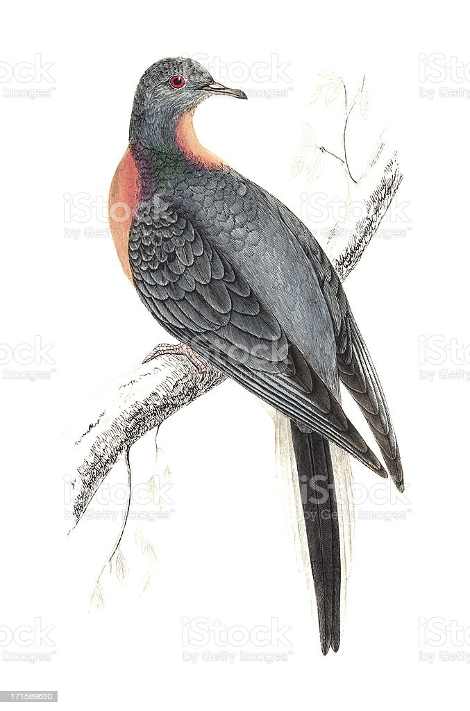 Passenger Pigeon - Hand Coloured Engraving vector art illustration