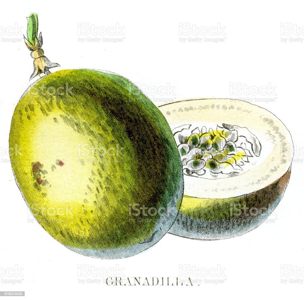 Passion fruit engraving 1857 vector art illustration
