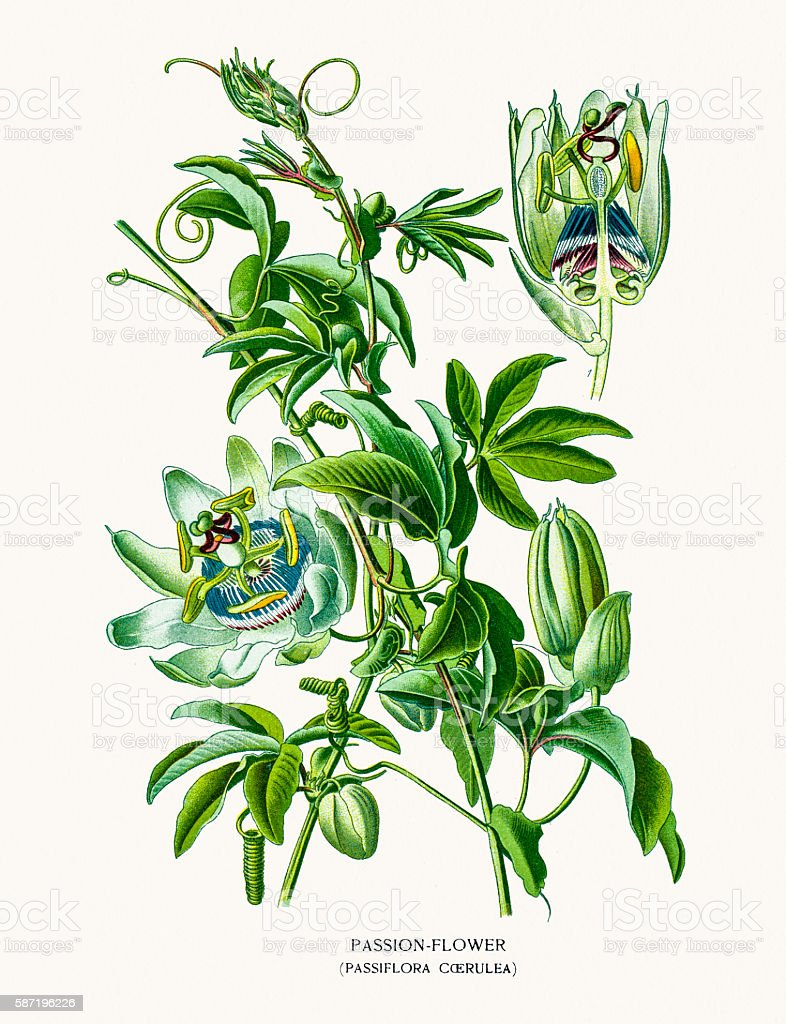 Passion fruit flower vector art illustration