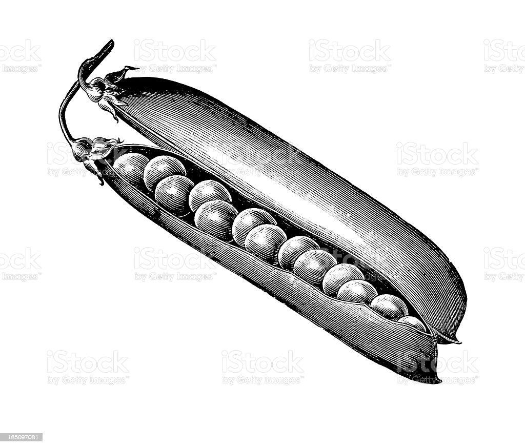 Pea Pod Seeds Illustration | Vintage Farmer Garden Vegetable Clipart royalty-free stock vector art