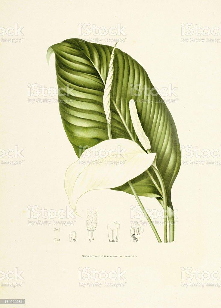 Peace lily | Antique Plant Illustrations vector art illustration