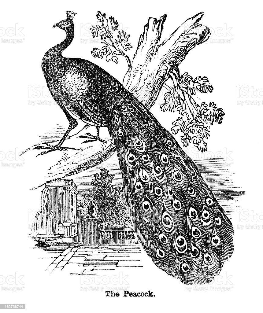 peacock engraving vector art illustration