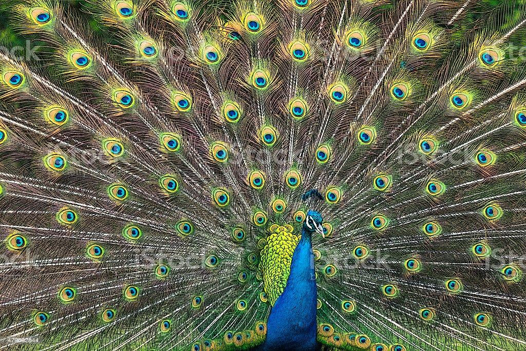 Peacock illustration with beautiful feather vector art illustration