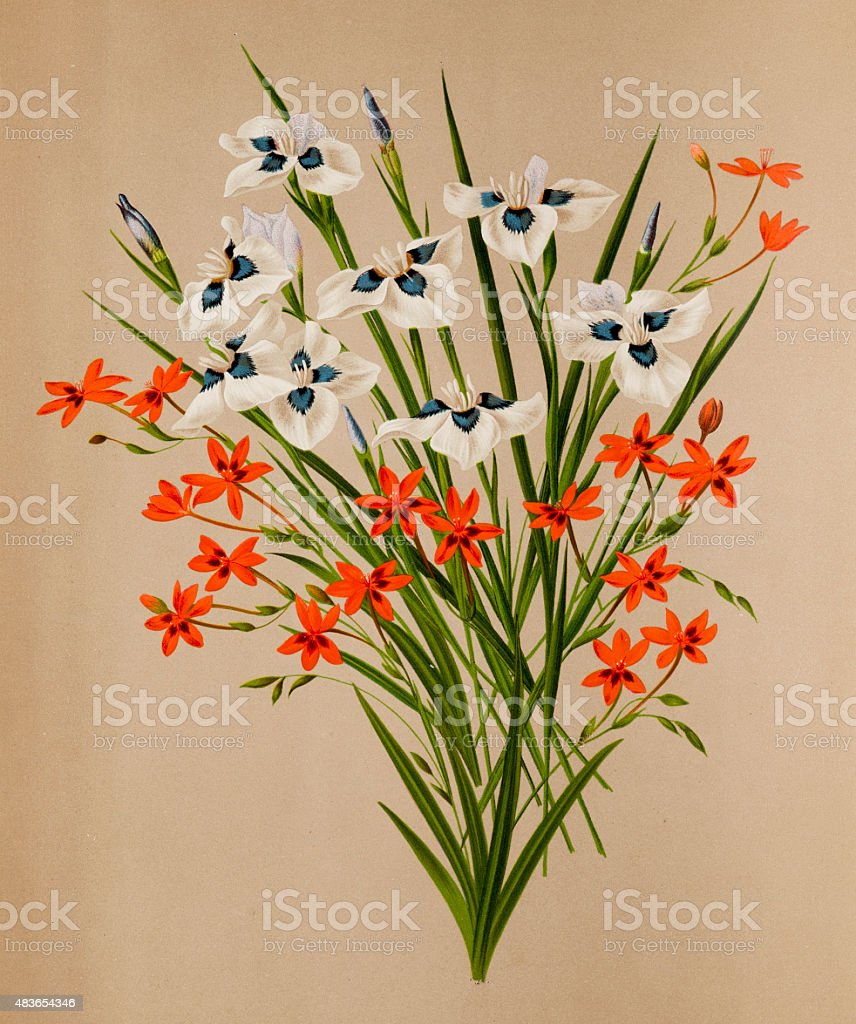 Peacock iris and freesia flowers, a 19th century botanical illustration vector art illustration