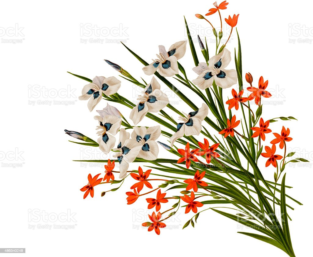 Peacock iris and freesia flowers on white vector art illustration