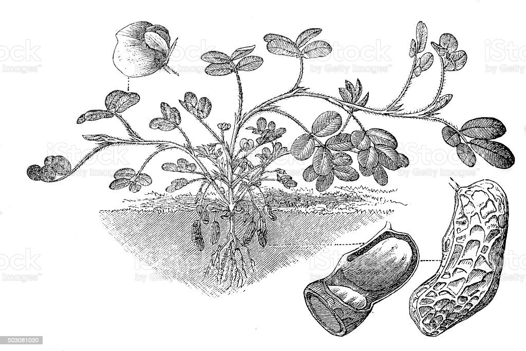 peanut or groundnut (Arachis hypogaea) vector art illustration