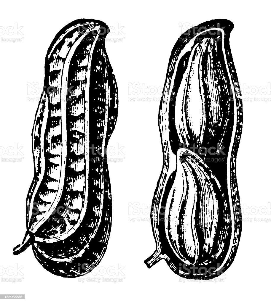 Peanut Shell and Seeds Illustration | Vintage Farmer Garden Clipart royalty-free stock vector art