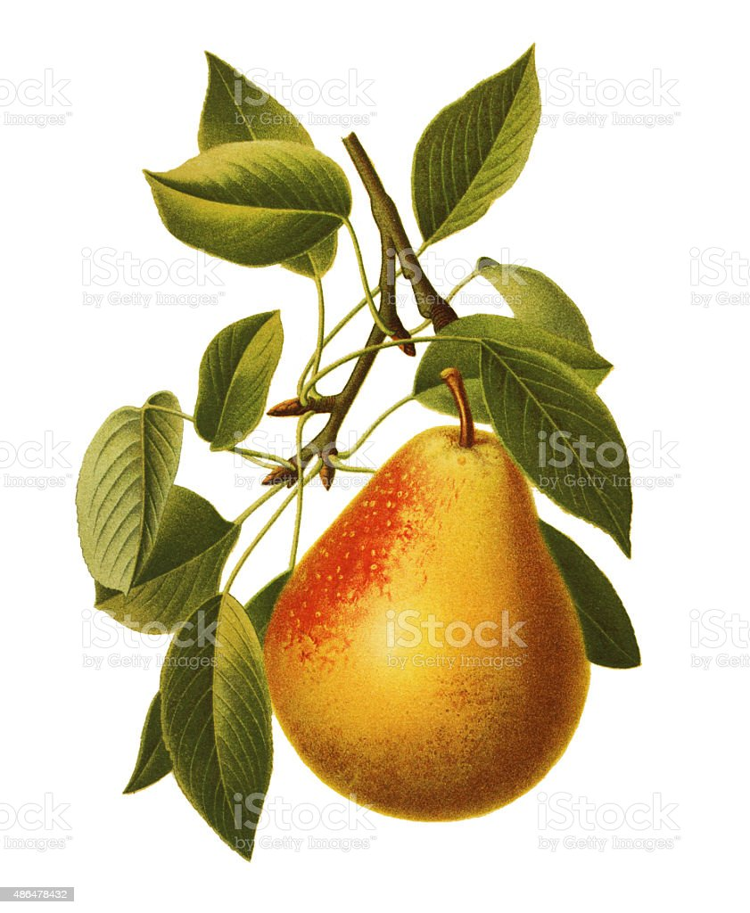 Pear vector art illustration
