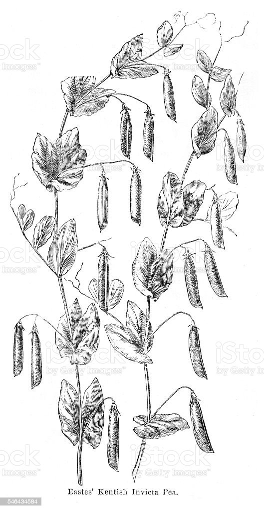 Peas plant illustration 1874 vector art illustration