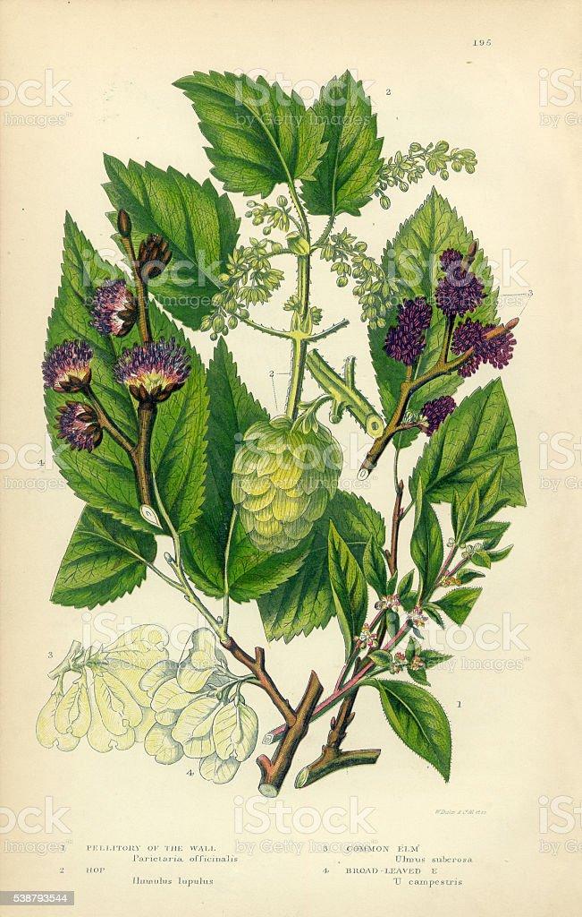 Pellitory, Lichwort, Hop, Elm, Elm Tree, Victorian Botanical Illustration vector art illustration