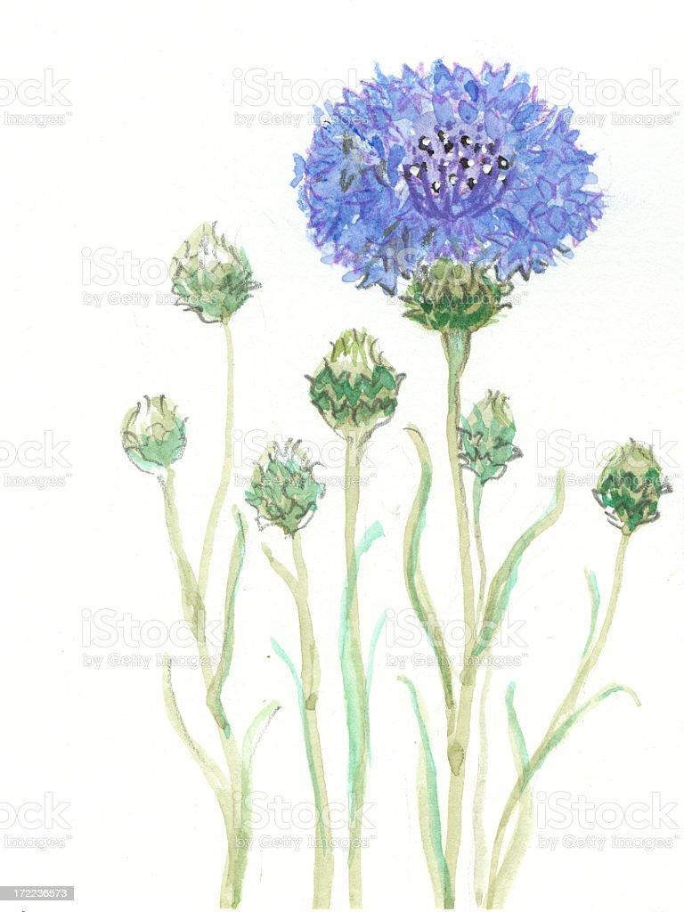Zeichnung von blue Kornblume Lizenzfreies vektor illustration