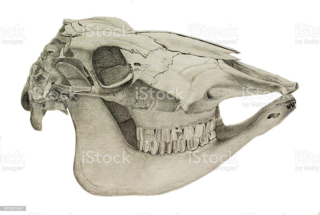 Pencil drawing of a horse skull vector art illustration