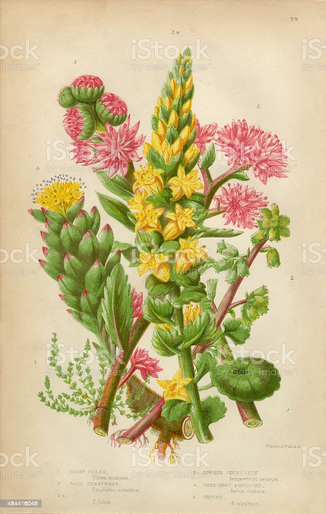 Pennywort, Leek and Stonecrop, Victorian Botanical Illustration vector art illustration