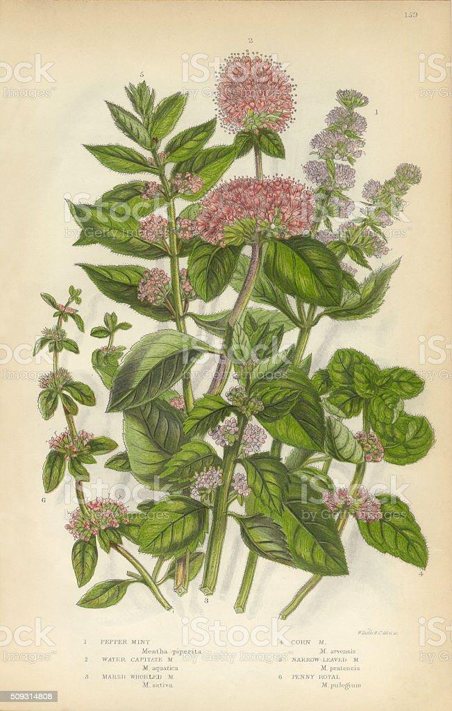 Peppermint, Mint, Spearmint, Gypsywort, Victorian Botanical Illustration vector art illustration