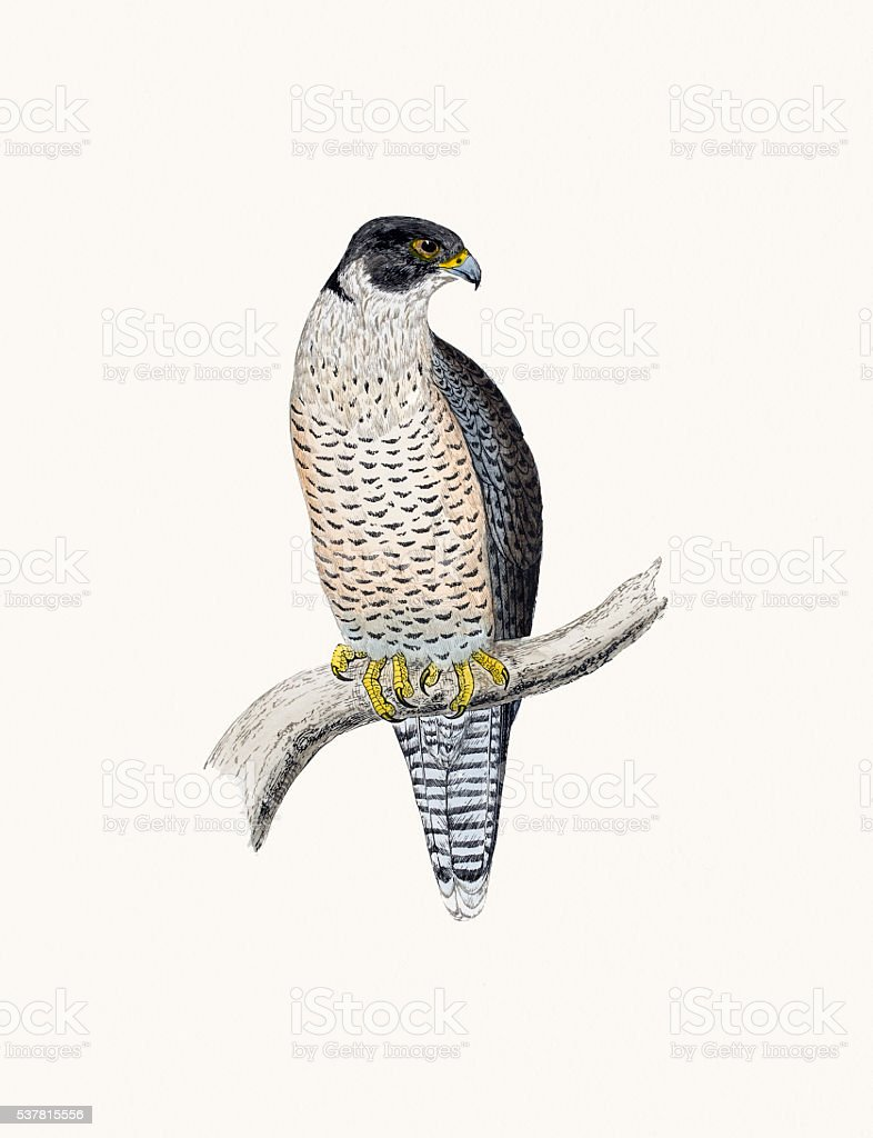 Peregrine bird of prey vector art illustration