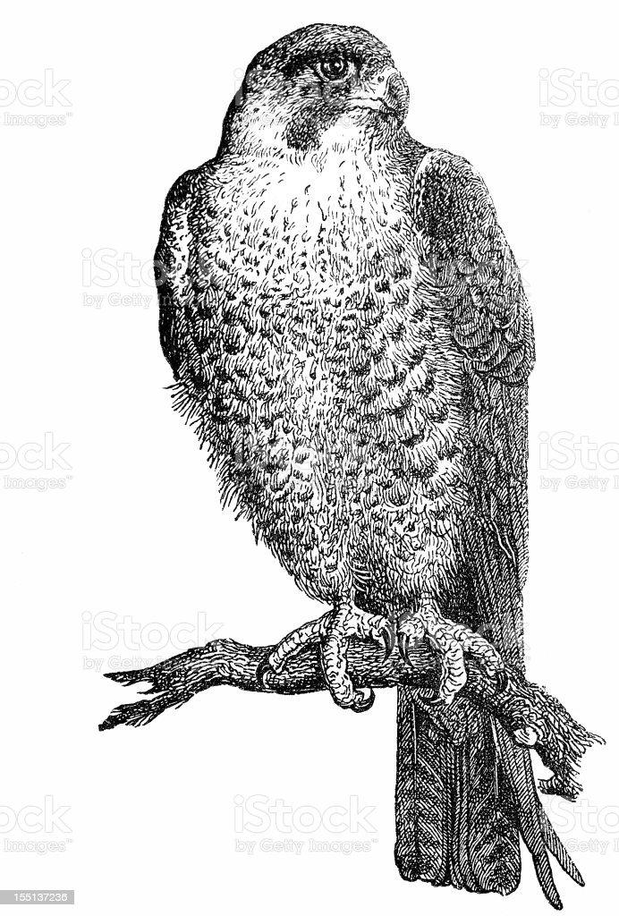 Peregrine Falcon (Falco Peregrinus) royalty-free stock vector art