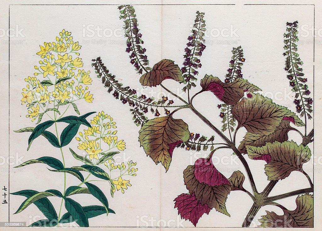 Perilla plant japanese woodblock print vector art illustration