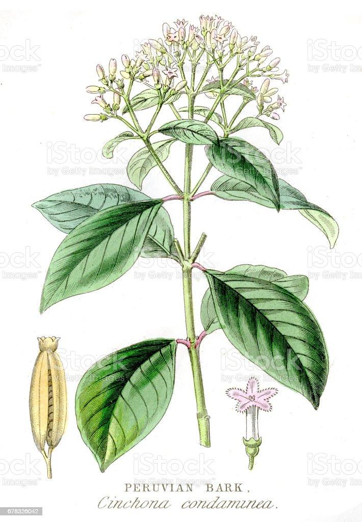 Peruvian bark botanical engraving 1857 vector art illustration