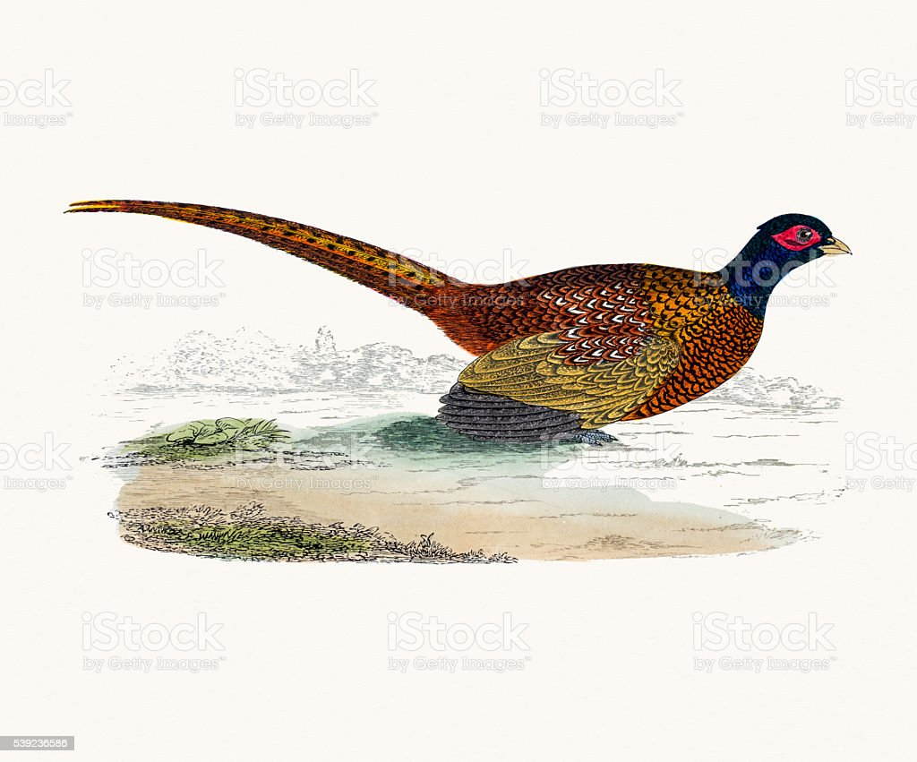 Pheasant bird vector art illustration