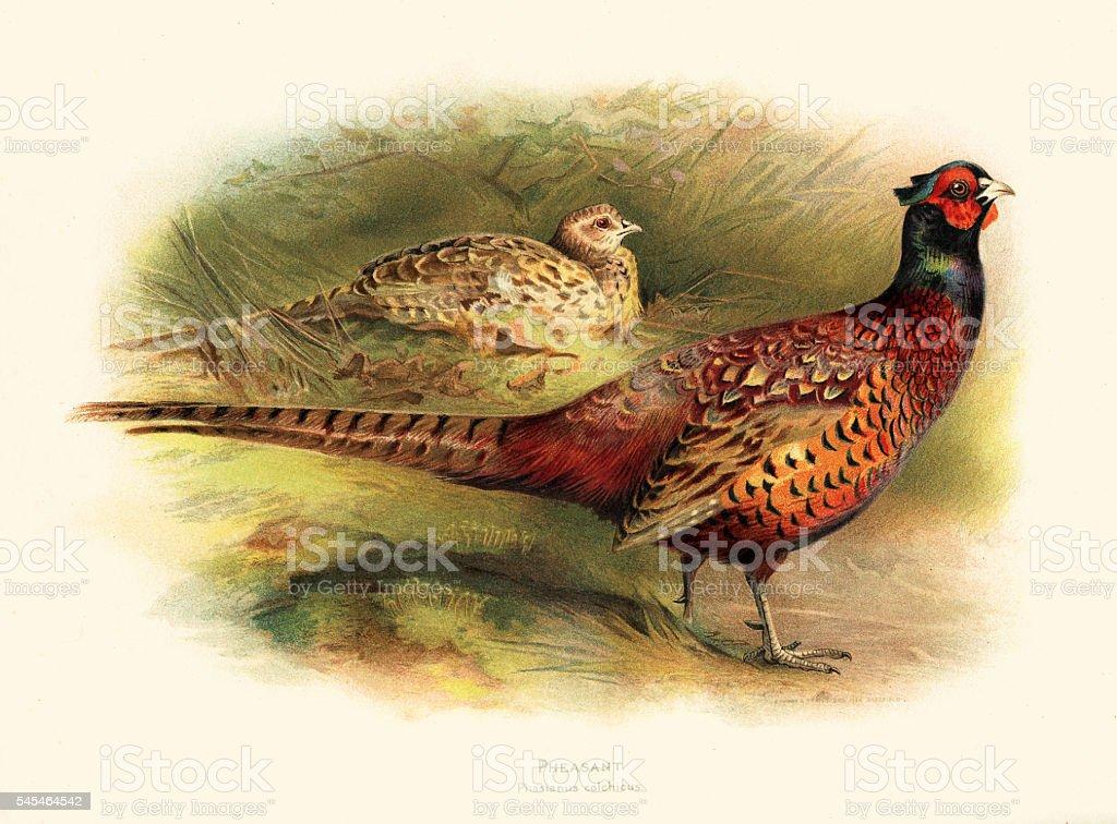 Pheasant illustration 1900 vector art illustration