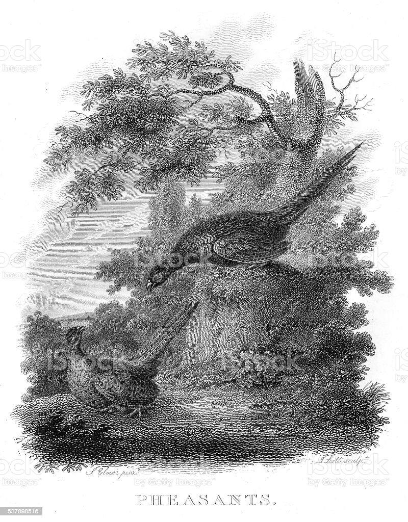 Pheasants engraving 1802 vector art illustration