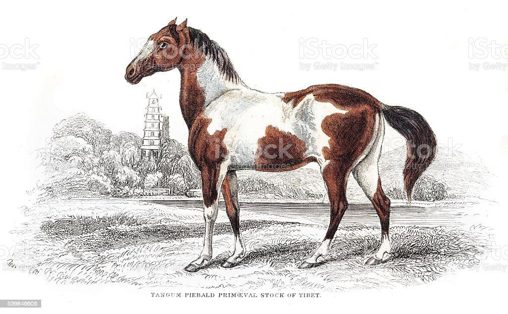 Pieabald spottted horse 1841 vector art illustration